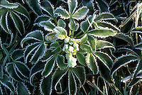 Helleborus argutifolius with frost hellebore in winter snow ice GR20006