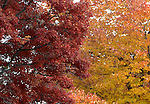 Trees with brilliant color Red orange yellow autumn leaves Commonwealth of Virginia,