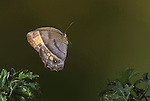 Taygetis Butterfly, Satyridae, in flight, Costa Rica, High Speed photographic technique, free flying, Brown, eye spots,.Central America....