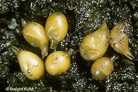 1Y01-057f  Earthworm - cocoons