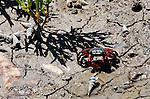 Crab in Hot Mud, Upper Newport Bay, CA.