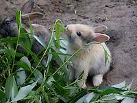 Zwergkaninchen, Zwerg-Kaninchen, einige Wochen altes Jungtier frisst Blätter, dwarf rabbit