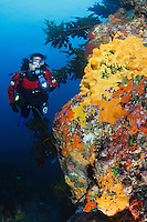 qj0593-D. scuba diver (model released) swims along reef wall ablaze with colorful sponges. Poor Knights Islands Marine Reserve, New Zealand, Pacific Ocean.<br /> Photo Copyright &copy; Brandon Cole. All rights reserved worldwide.  www.brandoncole.com<br /> <br /> This photo is NOT free. It is NOT in the public domain. This photo is a Copyrighted Work, registered with the US Copyright Office. <br /> Rights to reproduction of photograph granted only upon payment in full of agreed upon licensing fee. Any use of this photo prior to such payment is an infringement of copyright and punishable by fines up to  $150,000 USD.<br /> <br /> Brandon Cole<br /> MARINE PHOTOGRAPHY<br /> http://www.brandoncole.com<br /> email: brandoncole@msn.com<br /> 4917 N. Boeing Rd.<br /> Spokane Valley, WA  99206  USA<br /> tel: 509-535-3489