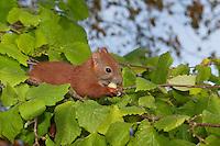 Europäisches Eichhörnchen, junges Eichhörnchen klettert in einem Haselnuss-Strauch und frisst eine unreife Haselnuss, Haselnuß, Nuss, Nuß, Sciurus vulgaris, European red squirrel, Eurasian red squirrel