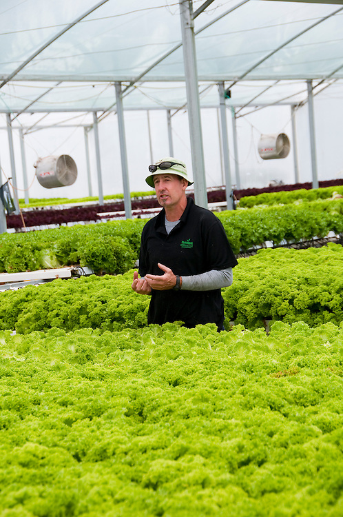 New Zealand, South Island, Marlborough, hydroponic lettuce leaf and herb agriculture production at Thymebank with co-owner Martin Birch. Photo #126414