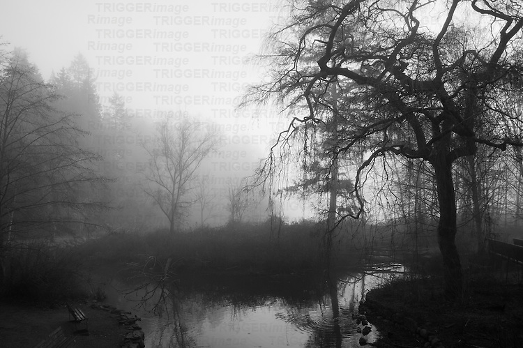 Spooky trees and reflections in small pool of water in fog.