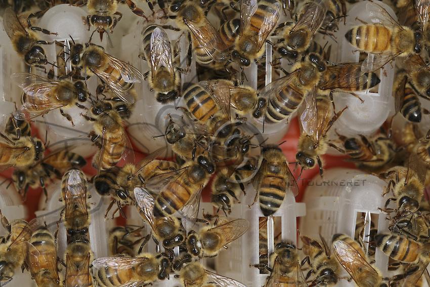 Cages of fertilized queens. To maintain the maximum of egg-laying potency in the hive, some beekeepers change all their queens at the end of the season in the beginning of March. It's long and fastidious work but it allows for better honey harvests.///Cages à reines fécondées. Pour conserver le maximum de dynamisme de ponte dans la ruche, certains apiculteurs changer toutes leurs reines à la fin de la saison début mars. C'est un travail long et fastidieux mais il permet de meilleures récoltes de miel.
