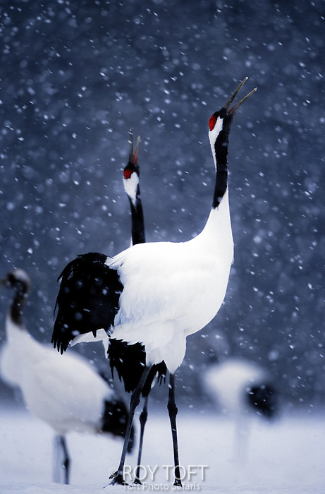 Pair endangered red-crowned cranes calling in snow (Grus japonensis), Hokkaido Island, Japan