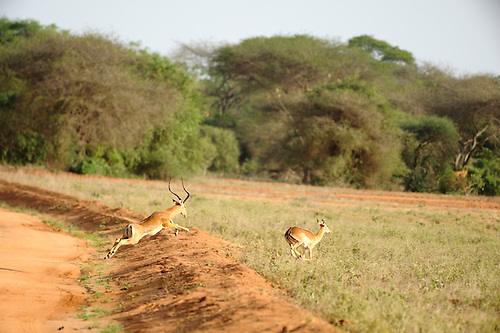 A male Impala chases a femaie during play.   Photographed on safari in Tsavo  East National Park, Kenya