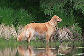 Golden retriever standing along the edge of a wetlands
