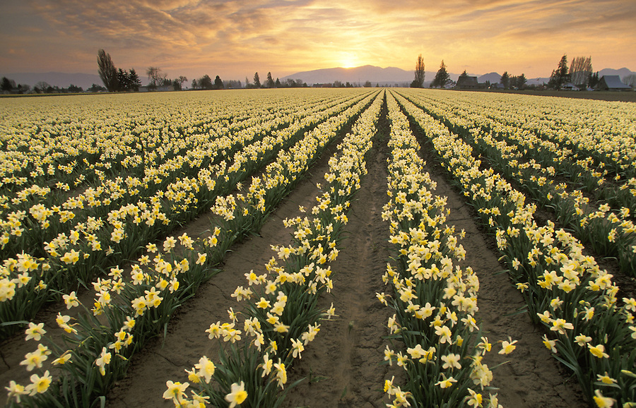 Field of yellow daffodils at sunrise, Mount Vernon, Skagit Valley, Washington