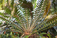 Modjadji Cycad, Encephalartos transvenosus; prehistoric plant long serrated leaf foliage