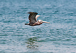 A brown pelican flying low over the Atlantic Ocean close to the beach on the east side of the Outer Banks