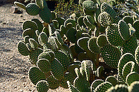 CACTUS - PRICKLY PEAR<br /> Beaver Tail Prickly Pear, Opuntia basiluris