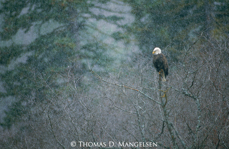 A majestic Bald Eagle perches in a bare tree as winter snow falls in Montana.