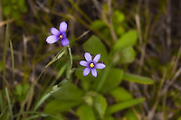 Blue-eyed grass wildflowers growing in the Everglades National Park. These great little flowers can be found all over South Florida growing in and around the wetlands.