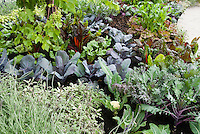 Pretty vegetable garden growing with colorful ornamental varieties such as blue cabbage, bright lights chard, Russian REd kale