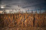 Corn Harvest 2008