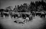 Mahout inspects elephant while bathing, Pinnawala Elephant Orphanage, Sri Lanka..Elephants are usually bathed twice a day.  Mahouts use this time to check elephants' massive bodies for wounds, scrapes or parasites.  Inspection reinforces the all-important bonding between mahouts and their charges..