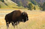 Bison, Hayden Valley, Yellowstone National Park, Wyoming