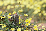 Ground squirrels, Xerus inauris, in devil's thorn flowers, Kgalagadi Transfrontier Park, Northern Cape, South Africa