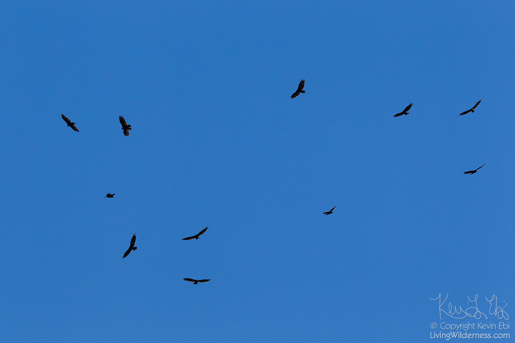 vultures flying in circles