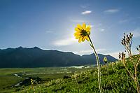 Yellow Arnica blooms under the 24 hours sunlight of Alaska's high arctic, in Atigun Canyon of the Brooks mountain range, Alaska