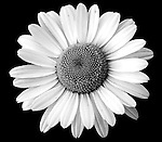 Black and White, Square Photograph of a Daisy Flower