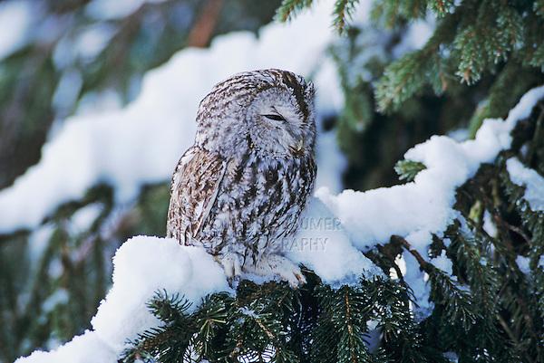 Tawny Owl, Strix aluco, adult on spruce with snow, Oberaegeri, Switzerland, Europe