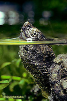 1R05-026z  Snapping Turtle - two year old swimming in pond, breathing at surface - Chelydra serpentina
