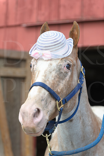 Horse wearing white Easter bonnet with an anxious bewildered look, head shot of an Appaloosa wearing a dress hat.
