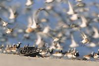 Horseshoe Crab, and shorebirds in flight, Kimble's Beach, New Jersey