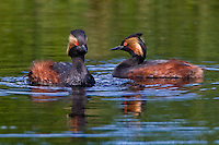Pair of Eared Grebes swimming on a small lake