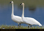 Trumpeter Swans, Trout Lake, Yellowstone National Park, Wyoming