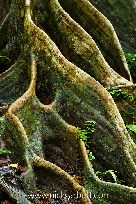 Buttress roots of Shorea sp. within lowland Dipterocarp rainforest. Danum Valley, Sabah, Borneo.