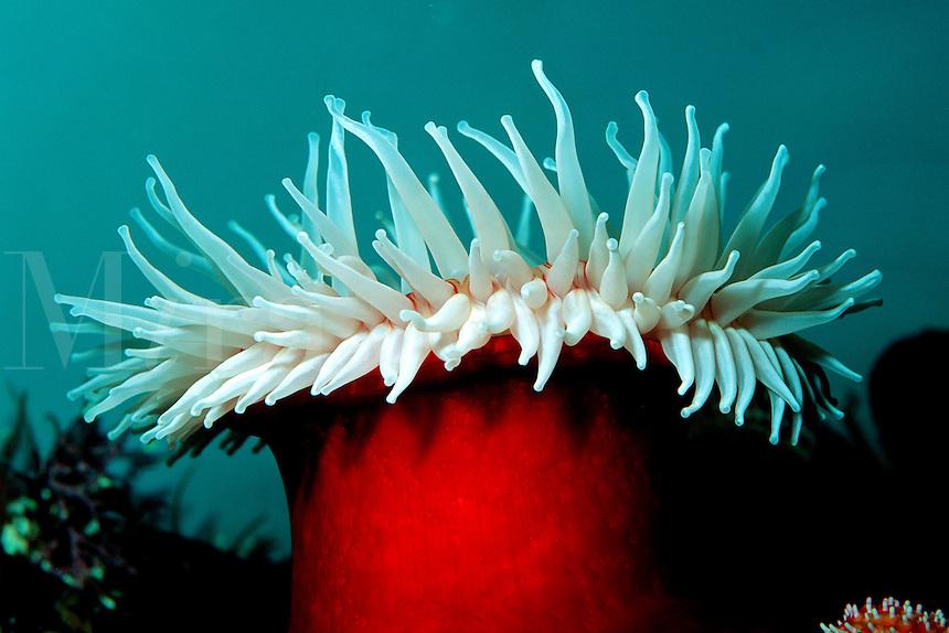 Fish-eating anemone, Urticina piscivora, California, Eastern Pacific Ocean