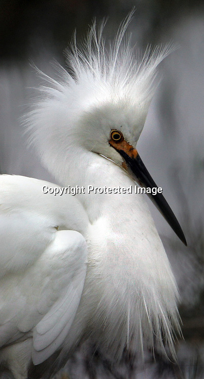 WET_023_fl.jpg A snowy egret who fed on the wetlands of Mill Valley had a serious bad hair day probably from all the rains that drenched Marin county recently.  Tuesday tapered off from the days previous storms as light rain will continued in parts of Northern California and the Central Valley, while areas of the Sierra Nevada had snow showers.  12/28/04 Mill Valley CA ..Frederic Larson.The San Francisco Chronicle.