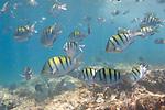 Santa Fe Island, Galapagos, Ecuador; a school of Panamic Sergeant Major (Abudefduf troschelii) fish swim over the rocky reef , Copyright © Matthew Meier, matthewmeierphoto.com All Rights Reserved