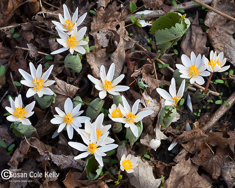 Bloodroot flowering in Virginia Woods at the Middlesex Fells Reservation in Medford, MA, USA
