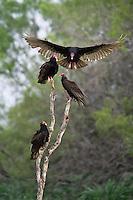 Turkey Vulture preparing to land