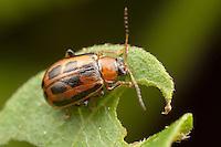 Bean Leaf Beetle (Cerotoma trifurcata) feeding on a leaf, Ward Pound Ridge Reservation, Cross River, Westchester County, New York