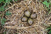 Großer Brachvogel, Gelege, Nest, Bodennest mit Eiern, Eier, Ei, Numenius arquata, curlew