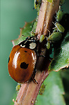 2 Spot Ladybird, Adalia bipunctata, feeding on aphids, red with black spots, two, garden pests.United Kingdom....
