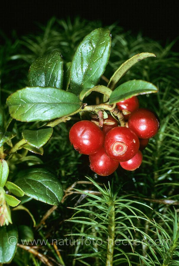 Echte Bärentraube, Immergrüne Bärentraube, Früchte, Arctostaphylos uva-ursi, Bearberry, Montain Cranberry
