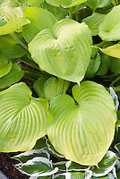 Hosta '14 Karats' aka Fourteen Carats' chartreuse yellow gold rounded puckered foliage plant