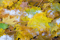 Snow and ice on fall foliage maple leaves in autumn, caught by surprise in November by early winter