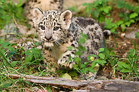 Snow Leopard kitten walking over a fallen log - CA