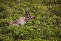 A moose forages on dwarf willow in Denali National Park.