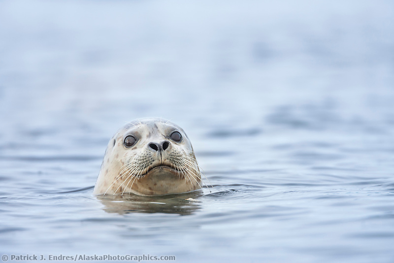 Harbor seal, Prince William Sound, Alaska