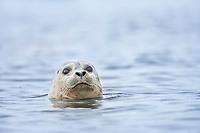 Harbor seal, Prince William Sound, Alaska